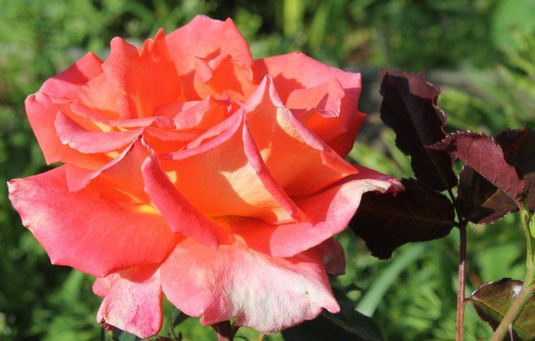 Роза Вестерланд (Westerland) — отзывы