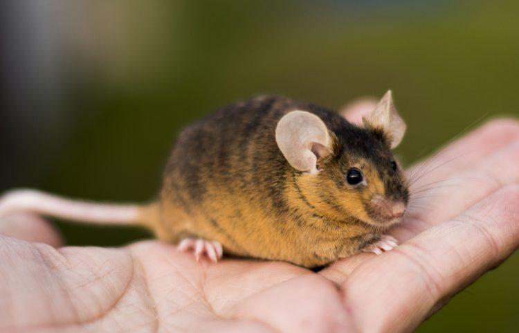 Декоративные мыши — отзывы