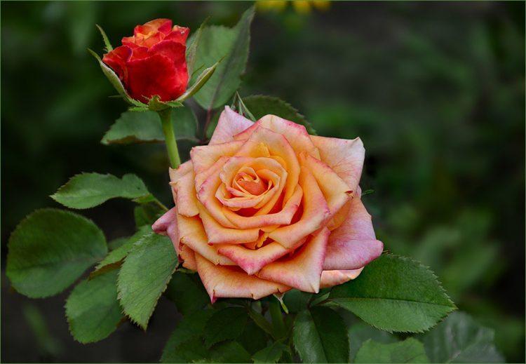 Роза Cherry Brandy Черри Бренди — отзывы