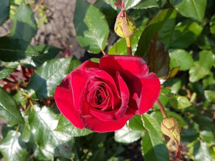 Розалия5.рф — интернет-магазин саженцев роз и деревьев — отзывы